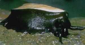 Elephant-Snail
