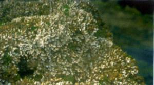 Galeolaria
