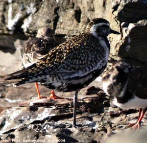 Golden_Plover_Breeding