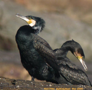 Great_Cormorants