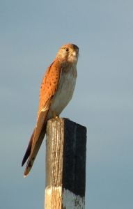 Kestrel_Post