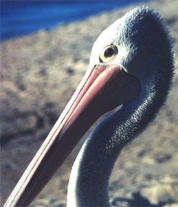 Pelican_Head