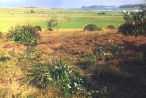 Themeda_Grass