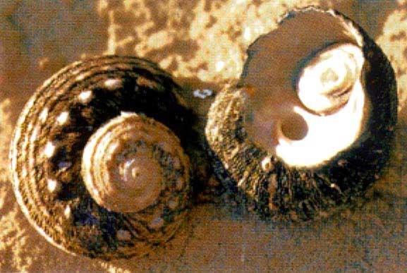Sydney Turban Snail Turban Snails