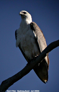 White-Bellied_Sea_Eagle