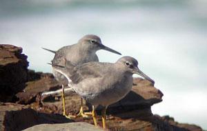 grey-tailed-tatlers
